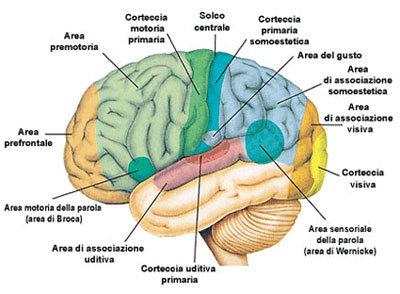 Sezioni Cervello