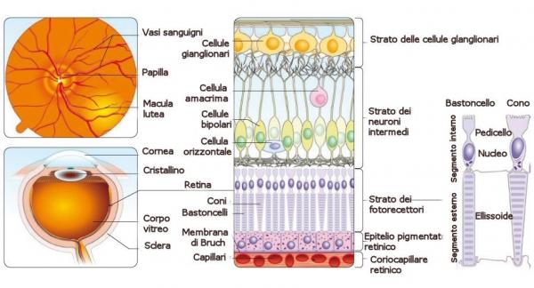carlo.orione_retina_e_strati_retinici