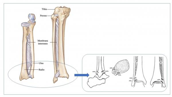 sindesmosi tibio-peroneale