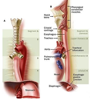 Rapporti Anatomici Cuore-Esofago