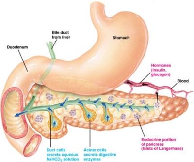 funzioni del pancreas