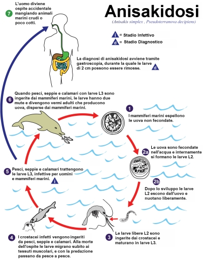 Ciclo biologico dell'Anisakia