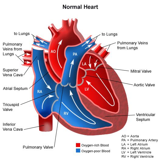 Il cuore e le sue valvole