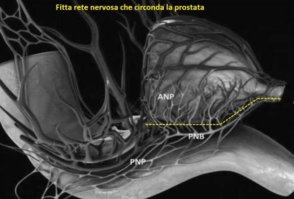 Rete nervosa che circonda la prostata