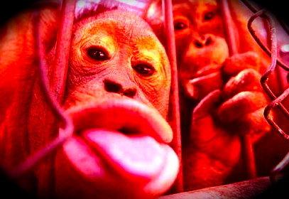 Orango in gabbia