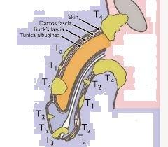 Neuropatia del pudendo: cause, sintomi, diagnosi e terapie ...