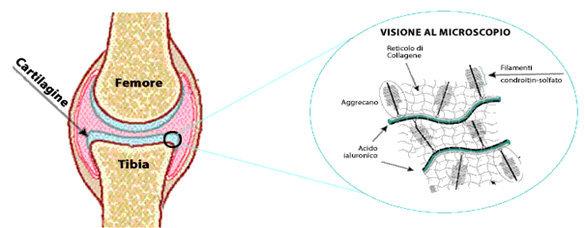 Componenti molecolari della matrice extracellulare cartilaginea