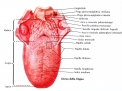 Le alterazioni morfologiche della lingua