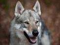 L'istinto del lupo